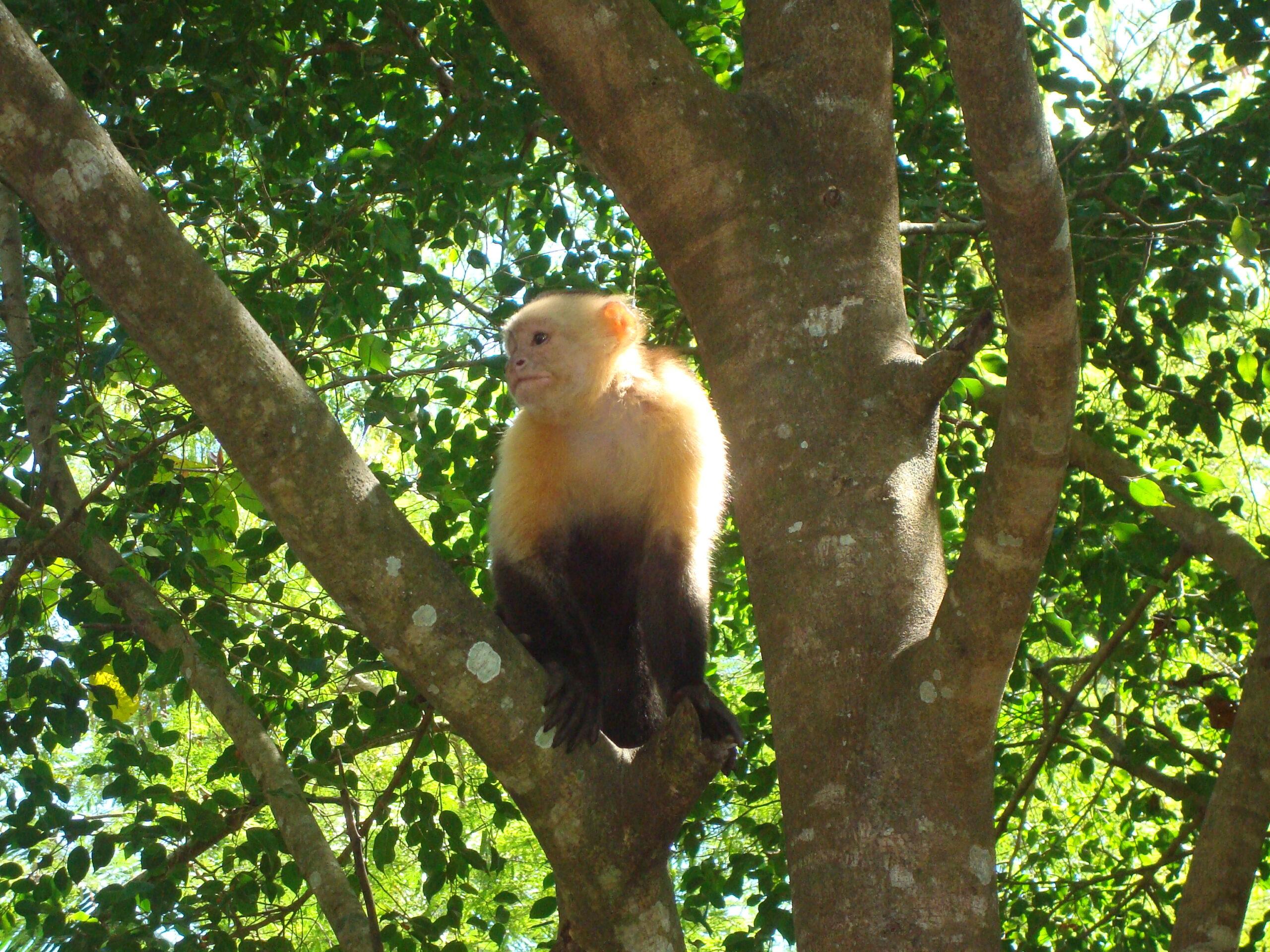 Rockstar Star Skipper Costa Rica Monkey